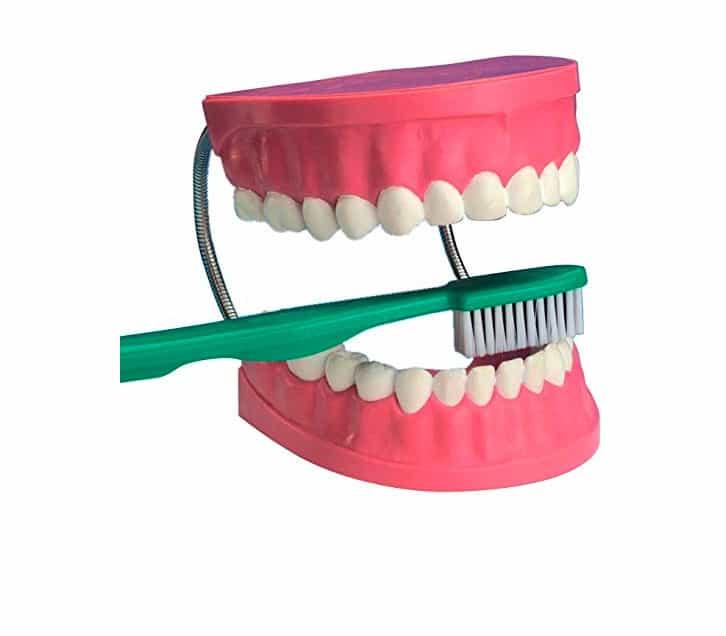 maqueta boca dientes