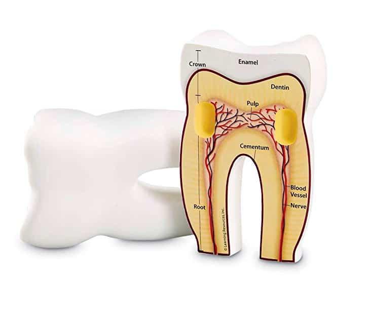 maqueta partes dientes
